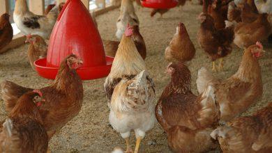 Photo of Landelijke ophokplicht voor commercieel gehouden pluimvee